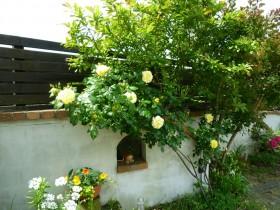 つるバラ(黄色)