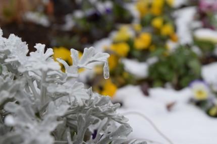 白妙菊のつらら