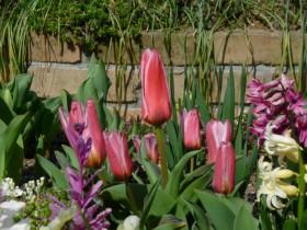 展示場花壇のチューリップ