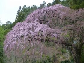高倉地内の枝垂桜