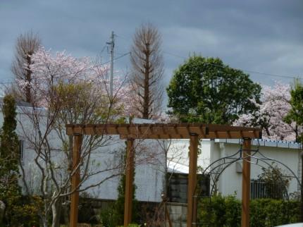 会社から見た堤公園の桜
