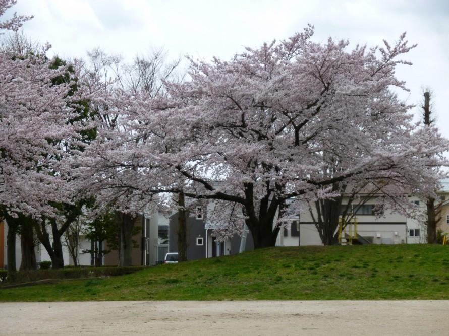 堤公園の桜
