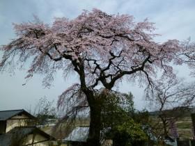須賀川の彌陀櫻