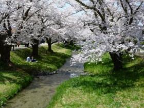 猪苗代観音寺川の桜