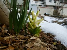 雪とヒヤシンス