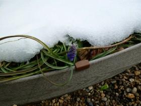 雪下ムスカリ