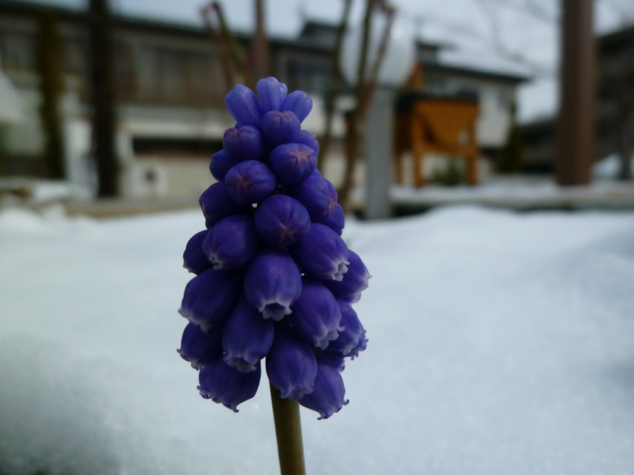 ムスカリに雪