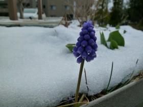 雪中ムスカリ